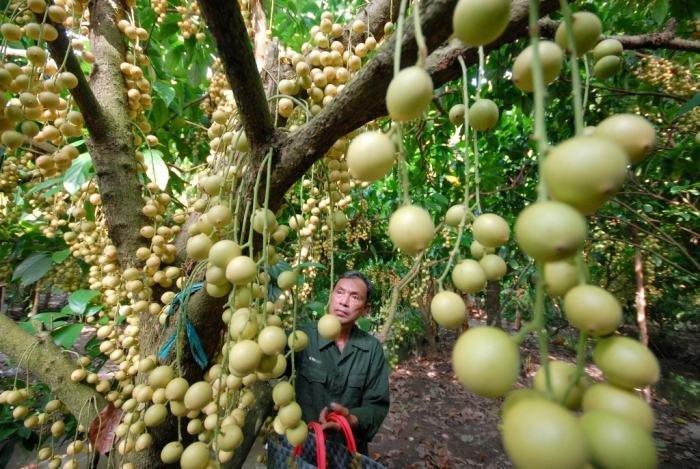 Người làm vườn chăm sóc, yêu thương vườn trái cây bằng cả tấm lòng