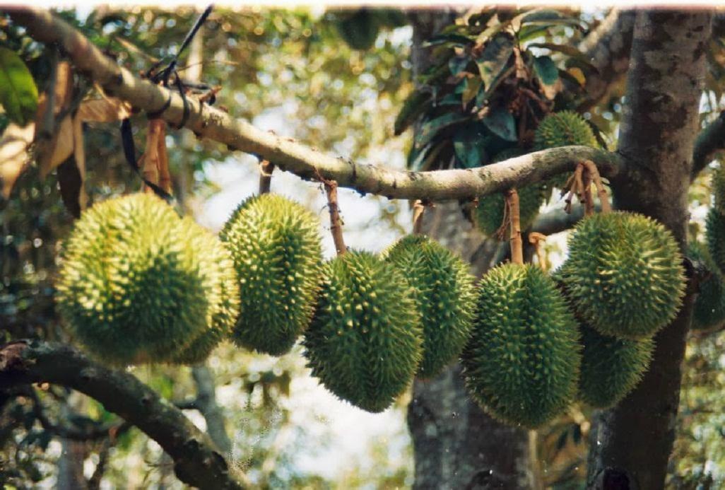 Những trái sầu riêng lủng lẳng trên nhánh cây