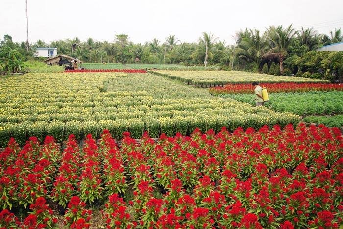 Vườn hoa khoe sắc ở Cái Mơn