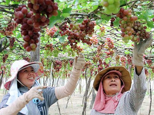 Vườn nho của vùng đất Ninh Thuận