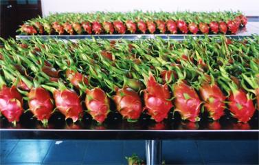 Ưu điểm Công nghệ xử lý trái cây tươi VHT (Vapor Heat Treatment)