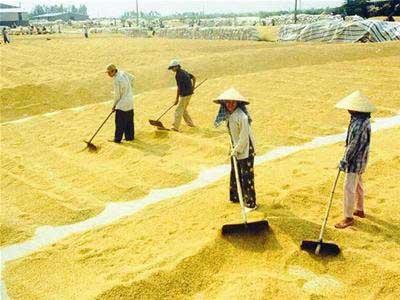 Phơi sấy nông sản nhằm mục đích gì?